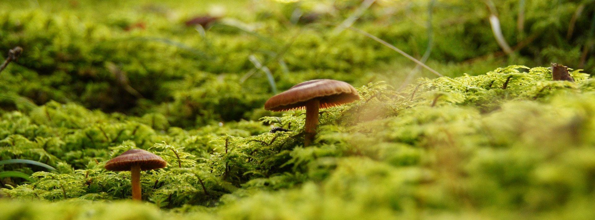 Ein Waldboden mit Pilzen zwischen Moos.