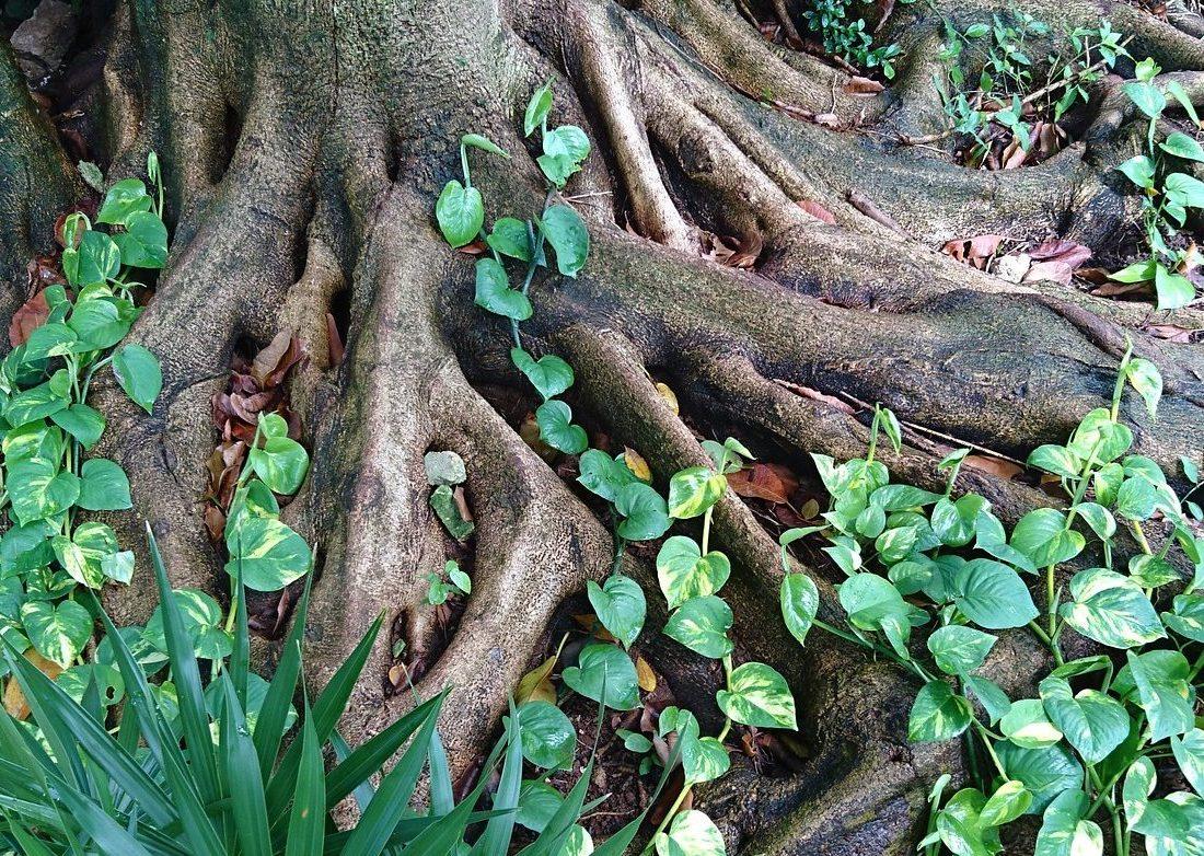Baumwurzeln mit Pflanzenranken.