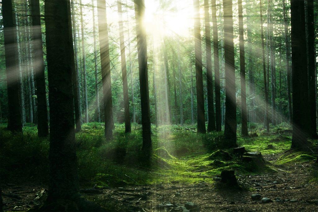 Sonnenstrahlen scheinen zwischen den Bäumen eines Waldes hindurch.