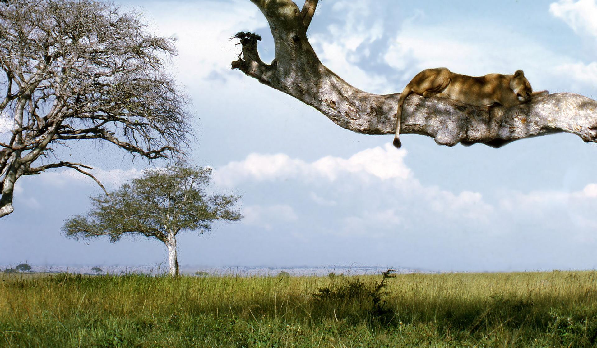 Löwe auf einem Ast in der Steppe Ugandas