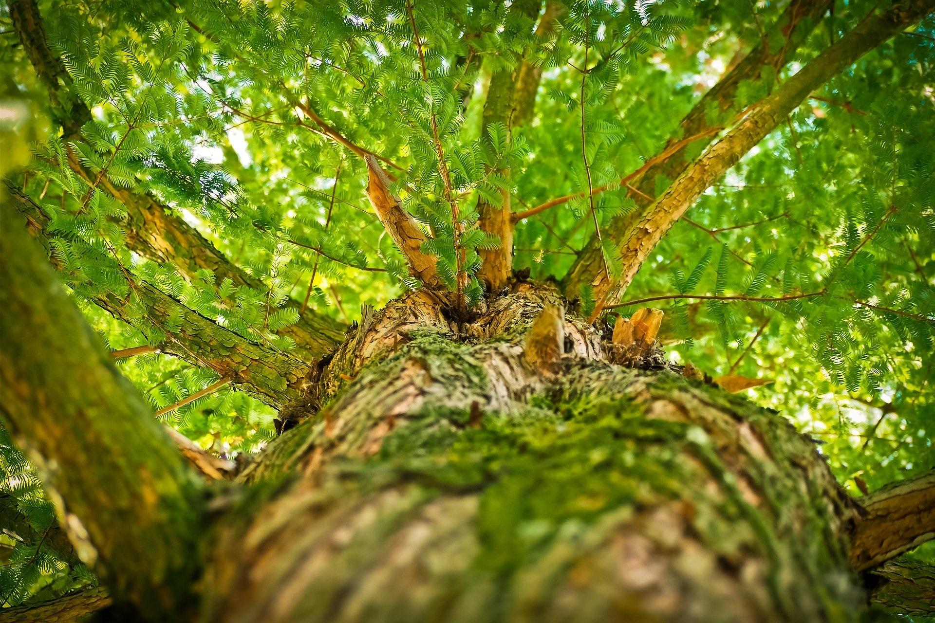 Ein großer Baum blüht.