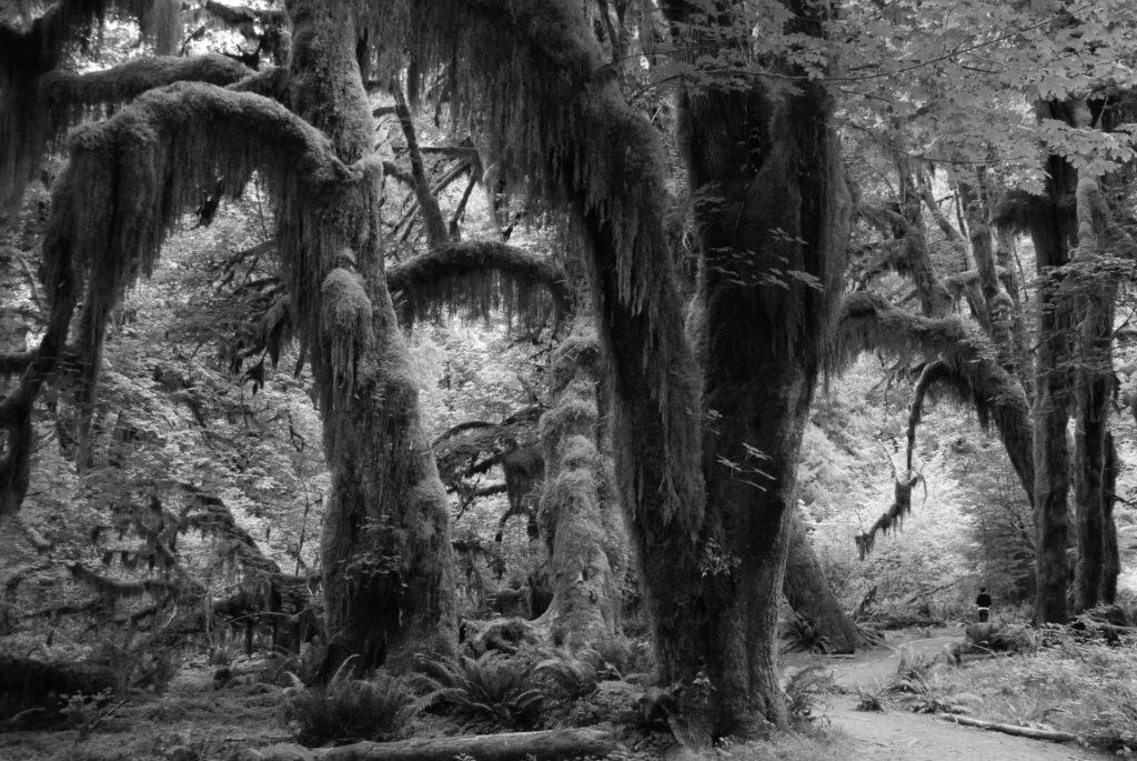 Árboles de la selva con un camino (blanco y negro)